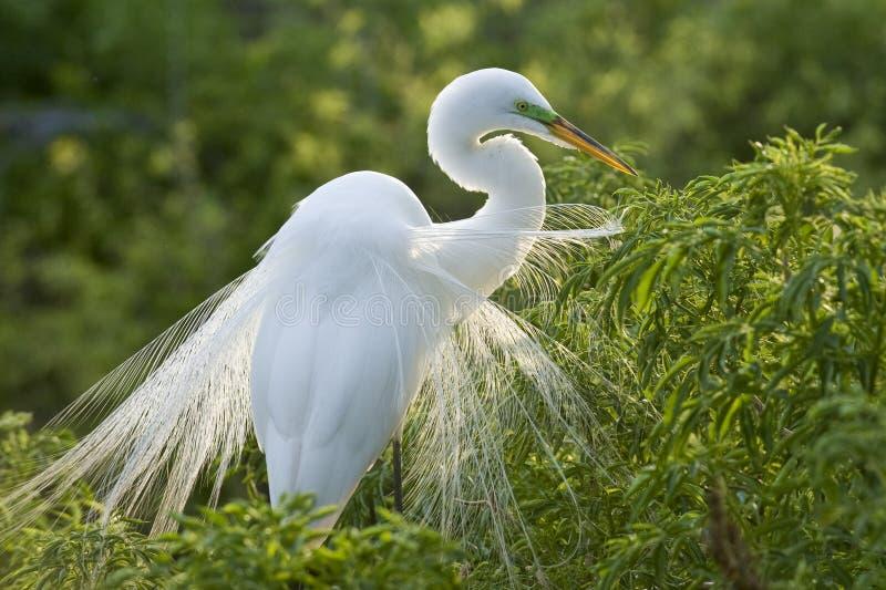 Grande Egret de gado fotos de stock