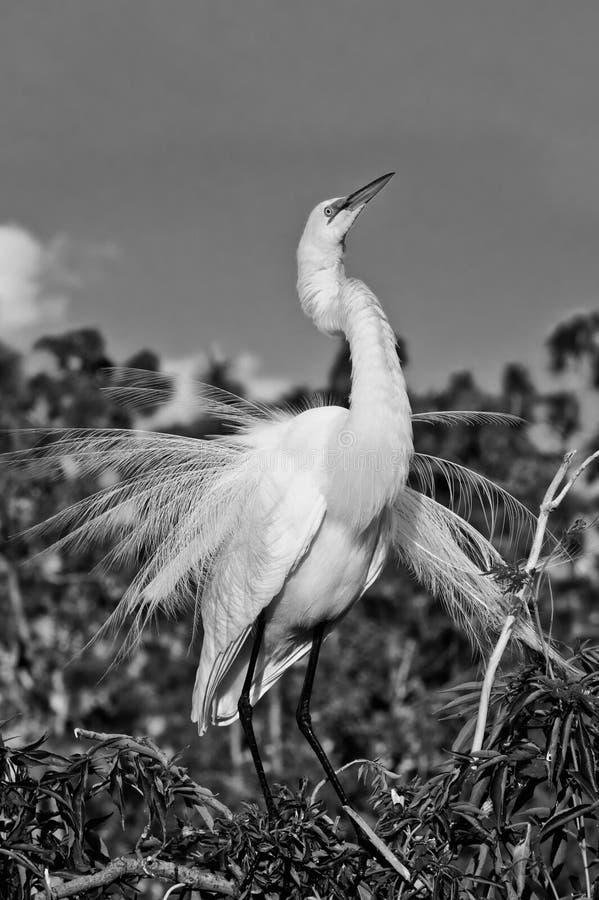 Grande Egret de gado em B&W imagem de stock royalty free