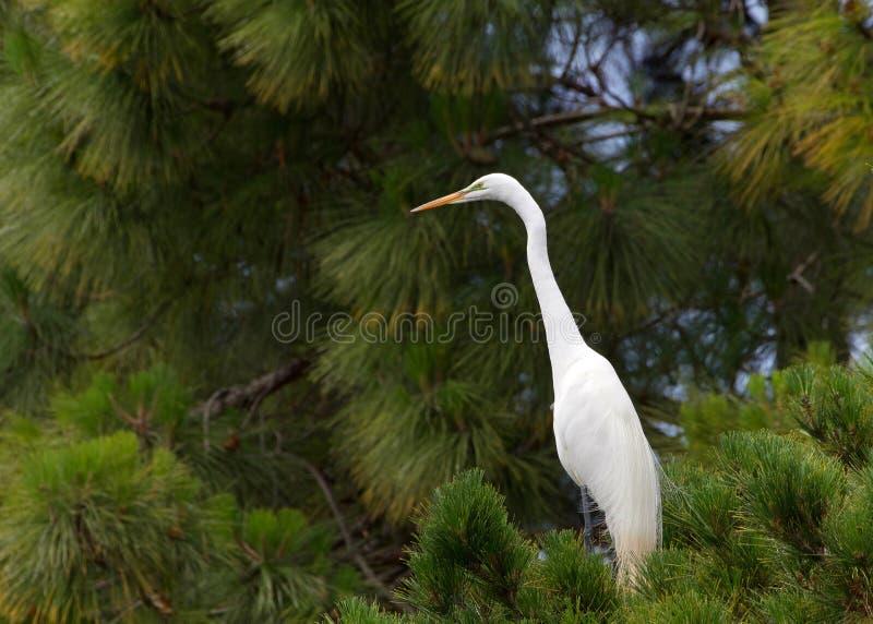 Grande egret em um pinheiro imagens de stock