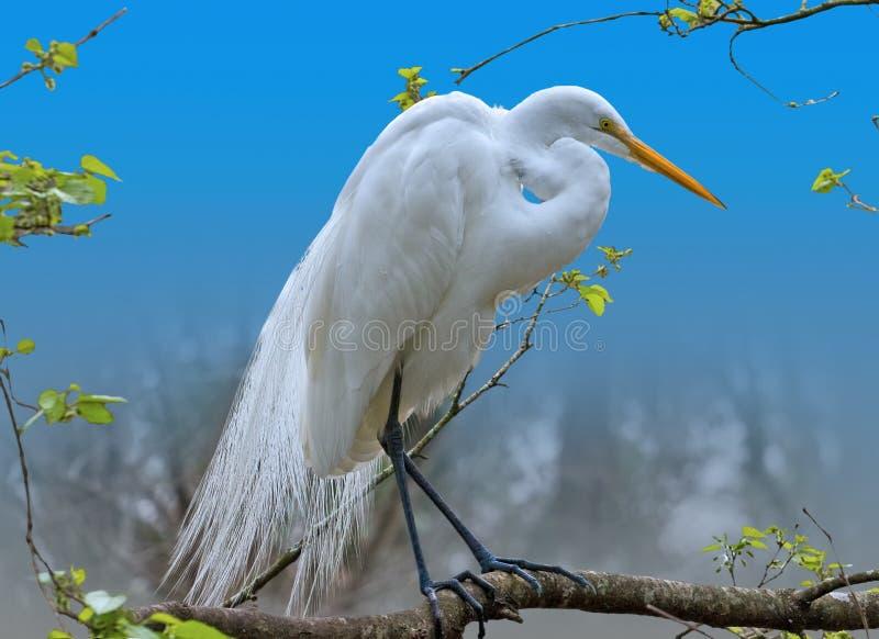 Grande Egret em uma árvore fotos de stock
