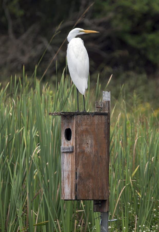 Grande Egret empoleirado na caixa da criação de animais do pato de madeira no habitat do pântano foto de stock