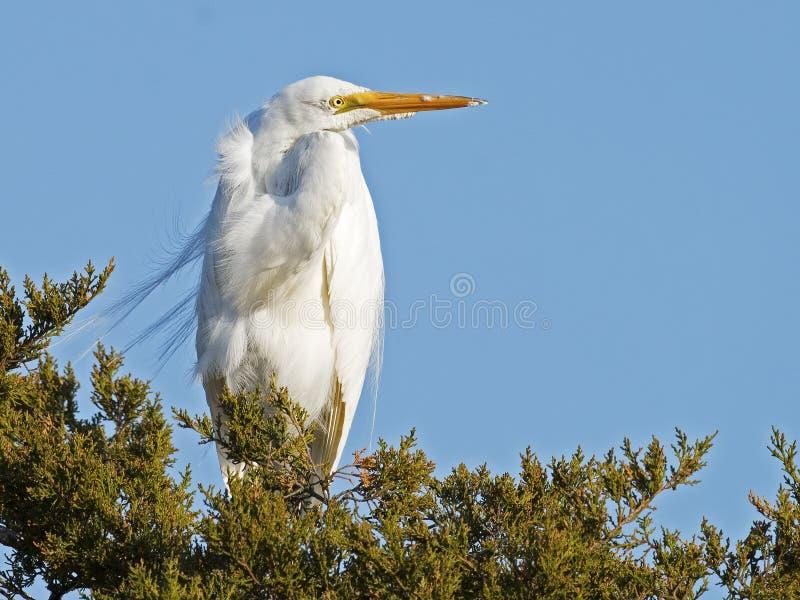 Grande Egret na árvore imagem de stock