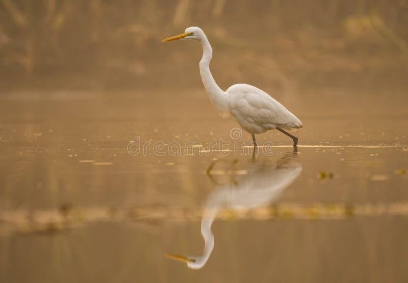 Grande Egret no lago imagens de stock royalty free