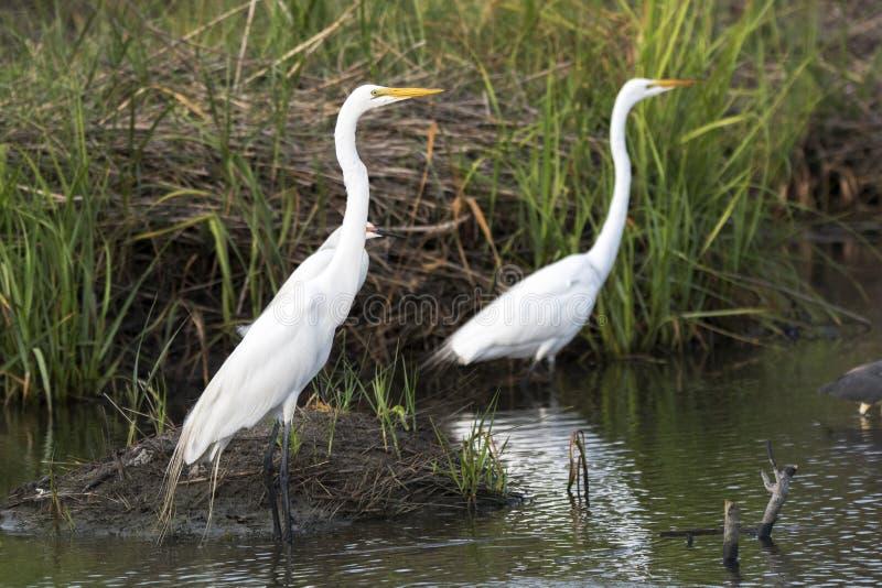 Grande Egret no pântano de sal fotos de stock royalty free