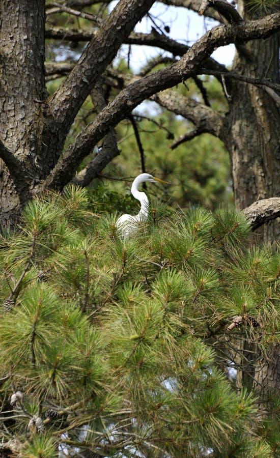 Grande Egret no pinheiro fotografia de stock