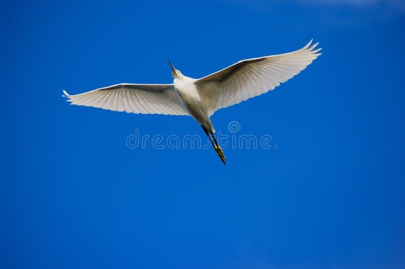 Grande Egret no vôo fotos de stock royalty free
