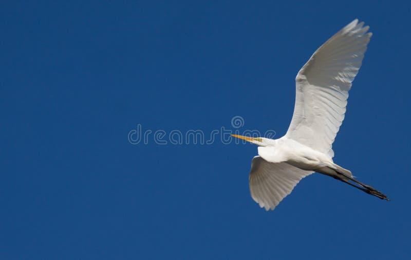 Grande Egret no vôo de encontro ao céu azul fotografia de stock