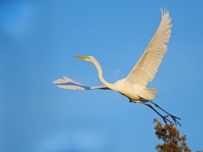 Grande Egret no v?o fotografia de stock royalty free
