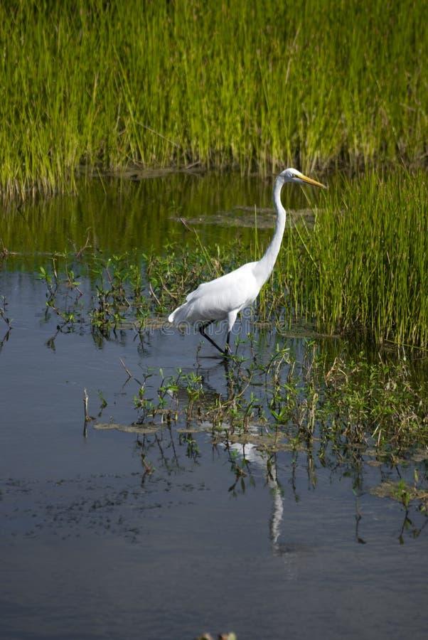 Grande Egret nos marismas imagens de stock