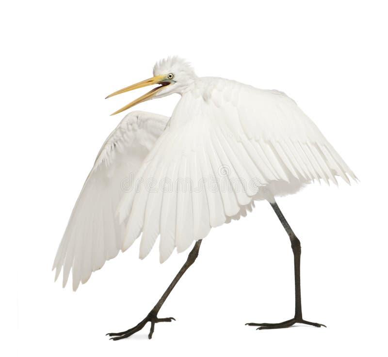Grande Egret ou grande Egret branco fotos de stock royalty free