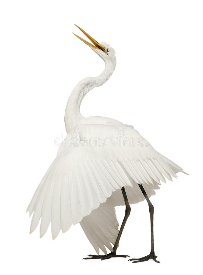 Grande Egret ou grande Egret branco imagens de stock royalty free