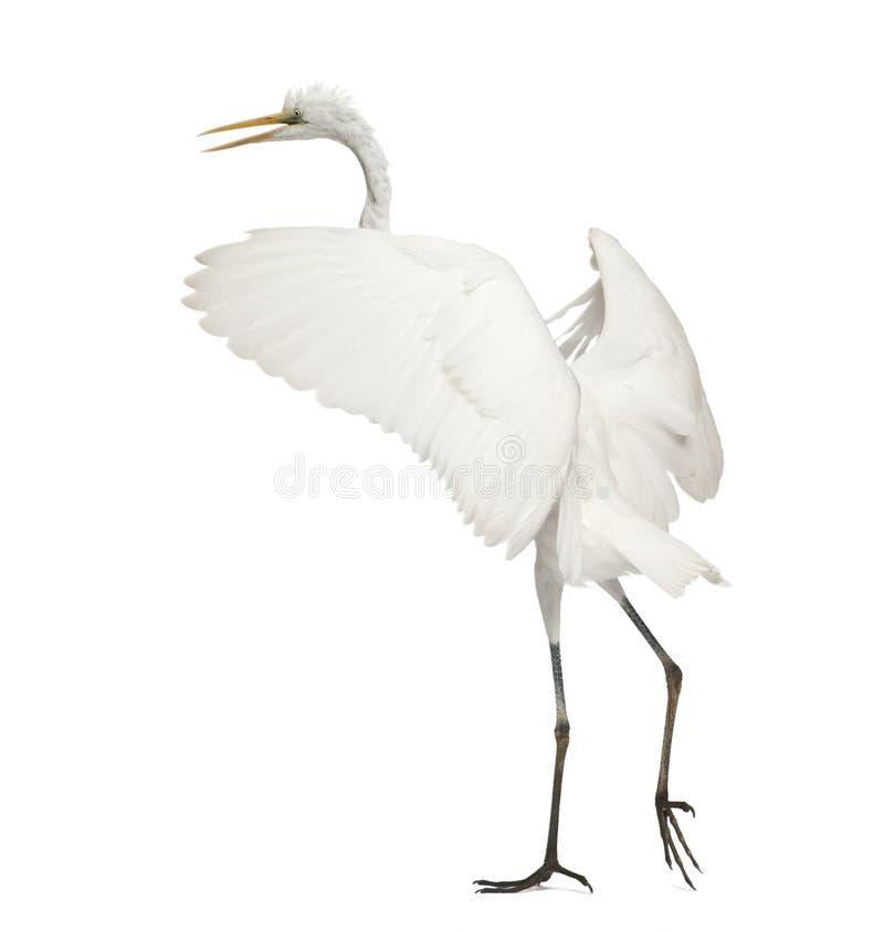 Grande Egret ou grande Egret branco imagem de stock royalty free