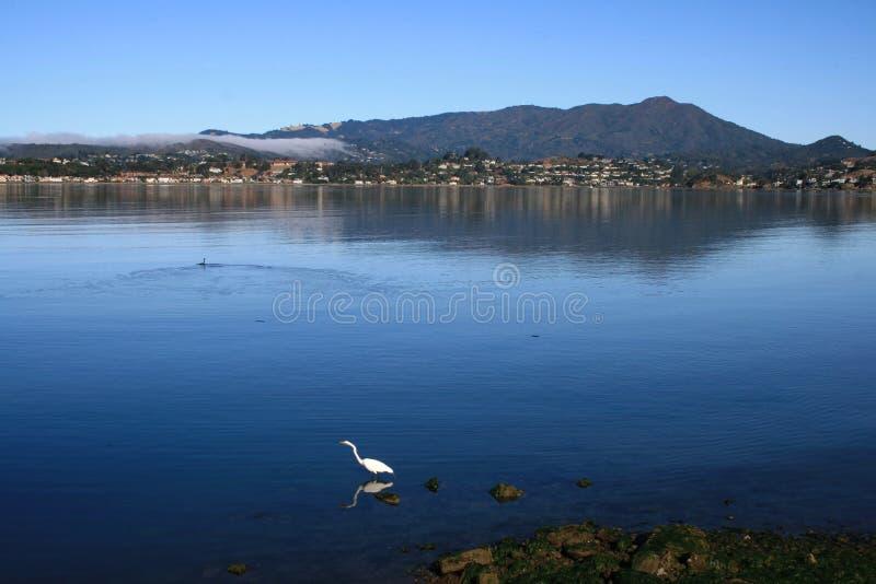 Grande Egret que vadeia foto de stock