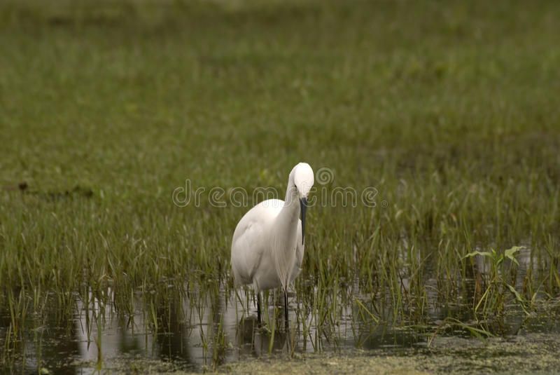 Grande egret, Srinagar, Kashmir, India fotografia de stock royalty free