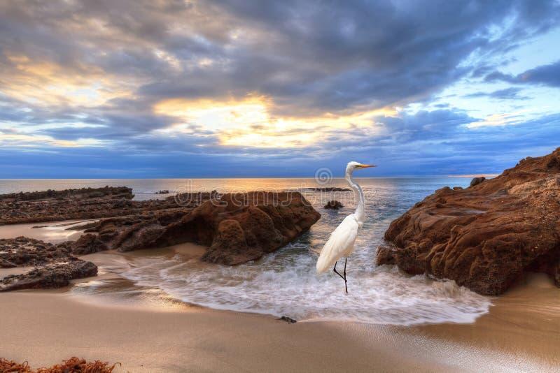Grande egretta al tramonto fotografie stock