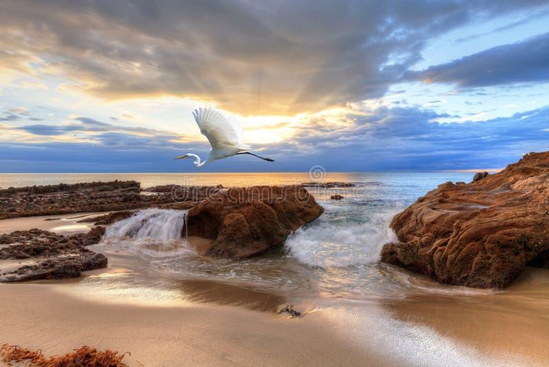 Grande egretta al tramonto immagini stock