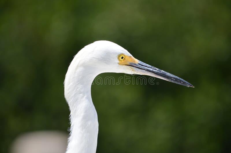 Grande egretta (ardea alba) fotografia stock