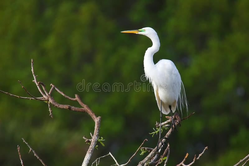 Grande egretta (ardea alba) fotografie stock libere da diritti