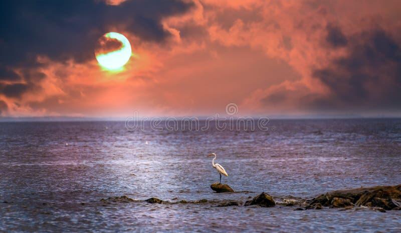 Grande egretta che guarda un bello tramonto sulla baia di Chesapeake fotografia stock