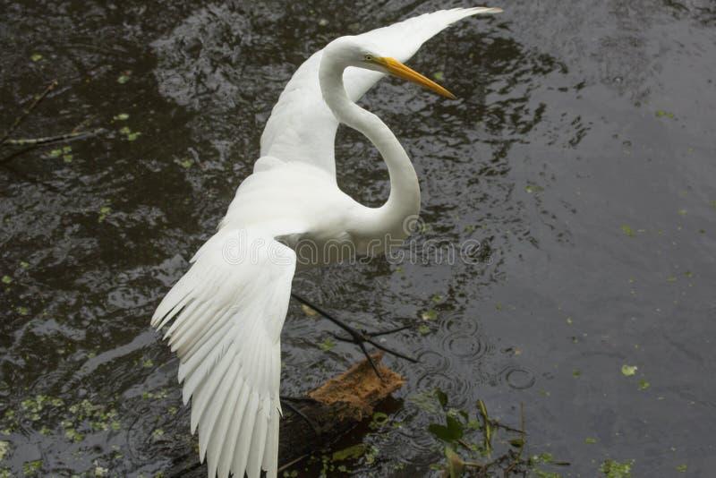 Grande egretta che spande le sue ali su un ceppo, terreni paludosi di Florida fotografia stock