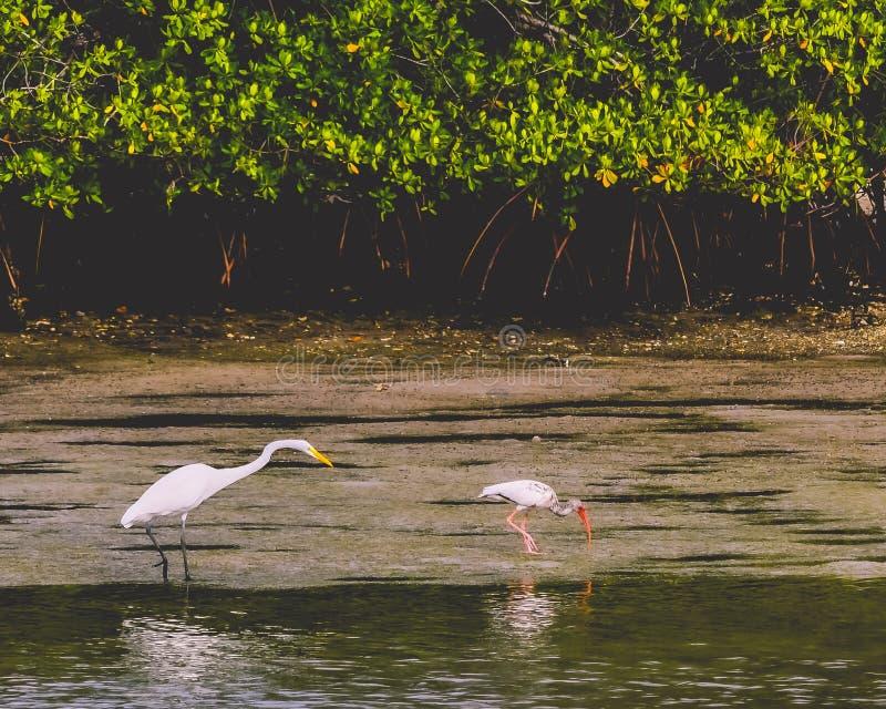 Grande egretta e un ibis che divide un'isola immagini stock