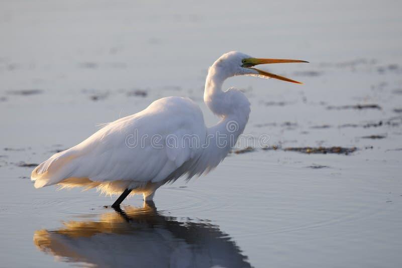 Grande egretta - Merritt Island Wildlife Refuge, Florida immagine stock libera da diritti