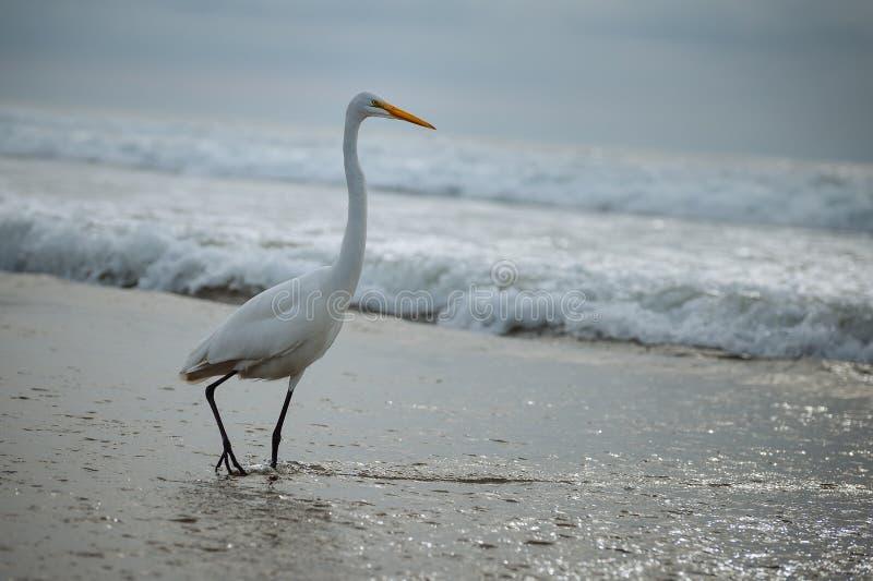 Grande egretta nella spuma dell'oceano immagine stock