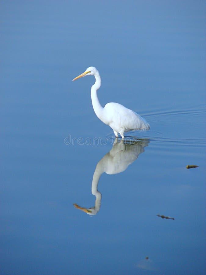Grande egretta orientale, lago Randarda, Rajkot fotografie stock