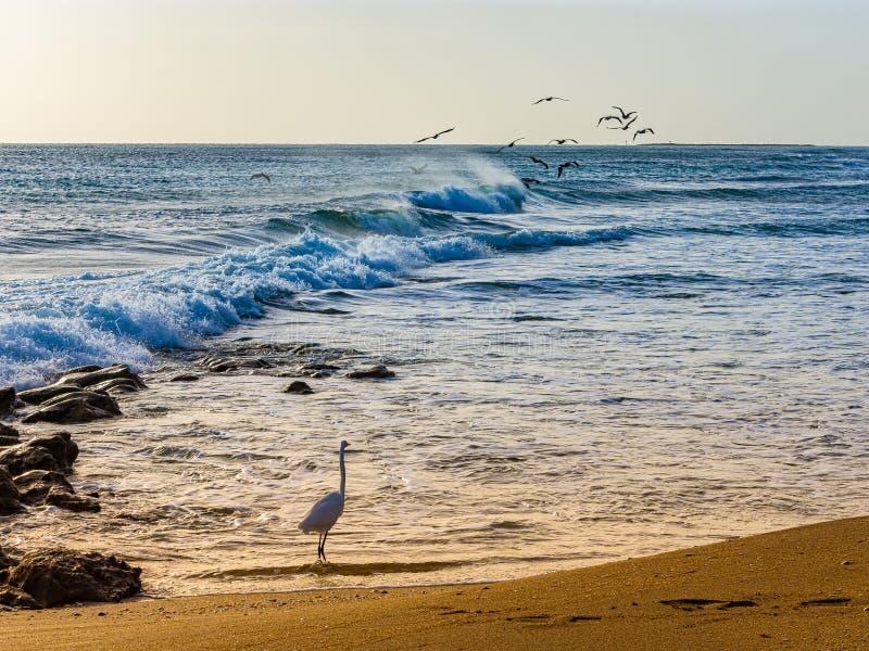 Grande egretta & una moltitudine di pellicani nel vento immagine stock