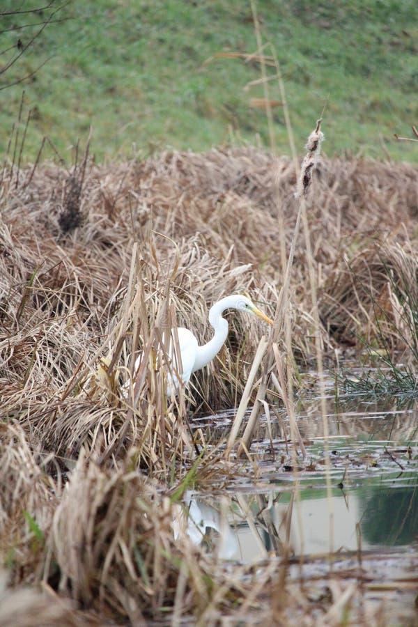 Grande egretta in uno stagno con la riflessione sul collo dell'acqua S fotografia stock
