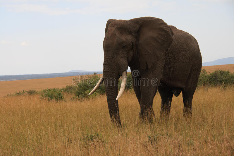 Grande elefante fotografie stock libere da diritti