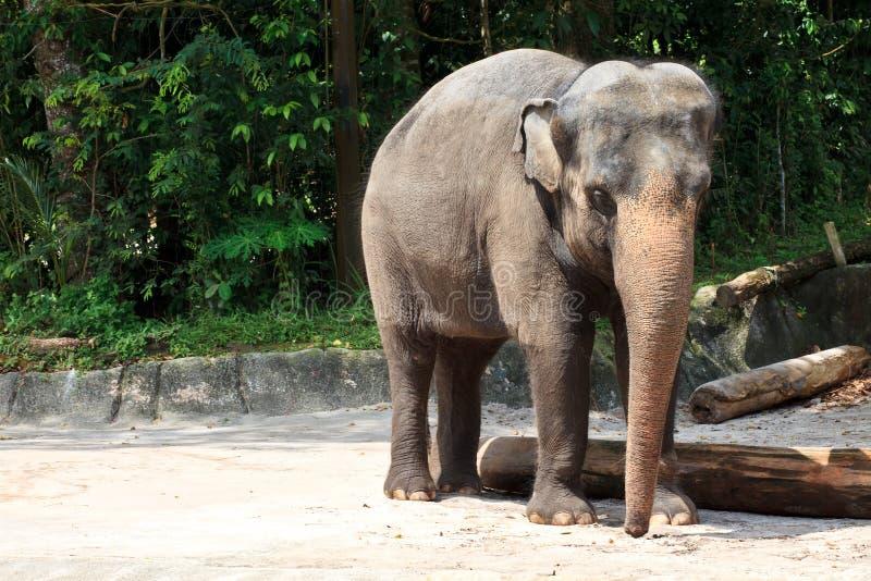 Grande elefante africano immagini stock libere da diritti