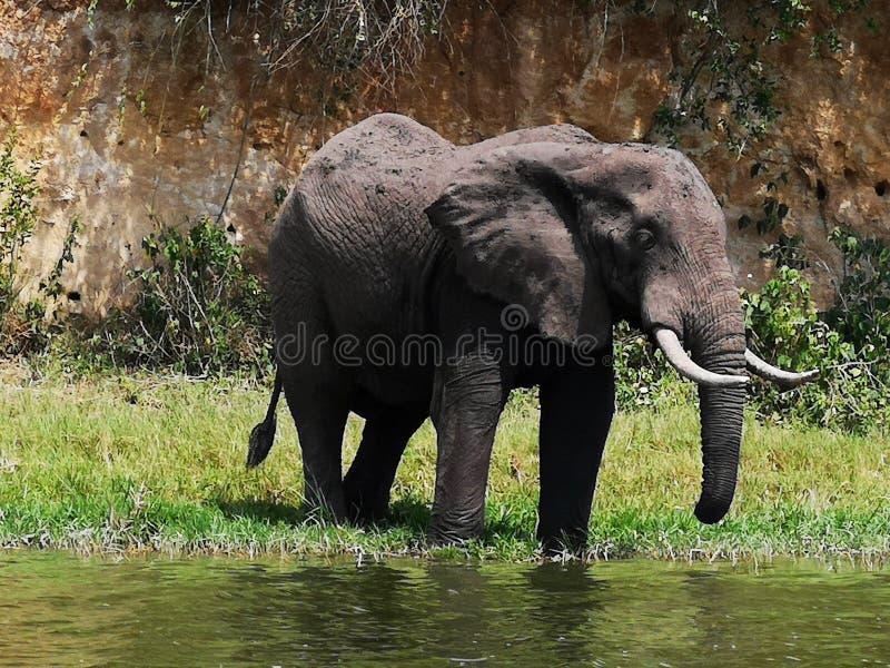 Grande elefante africano foto de stock