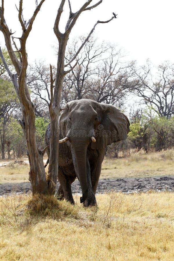Grande elefante di toro fotografia stock