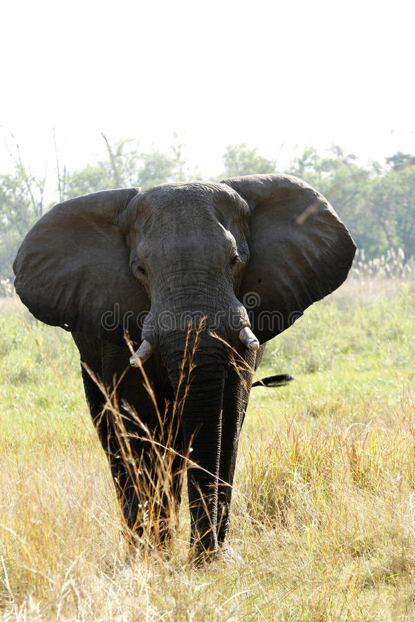Grande elefante di toro fotografia stock libera da diritti