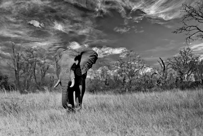 Grande elefante di toro che cammina attraverso le pianure africane asciutte nello Zimbabwe fotografia stock libera da diritti
