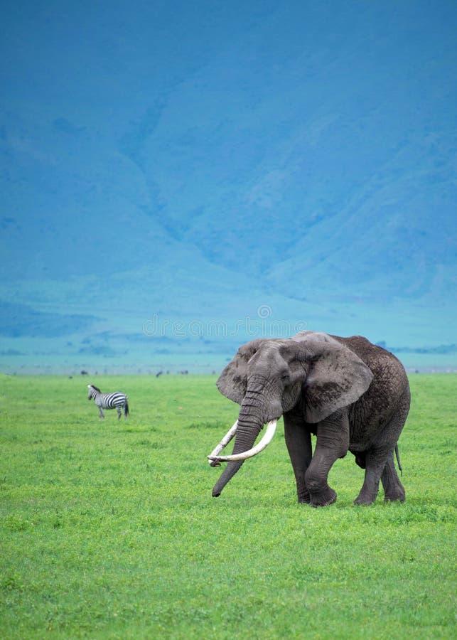 Grande elefante di toro in pascolo dell'Africa fotografie stock libere da diritti