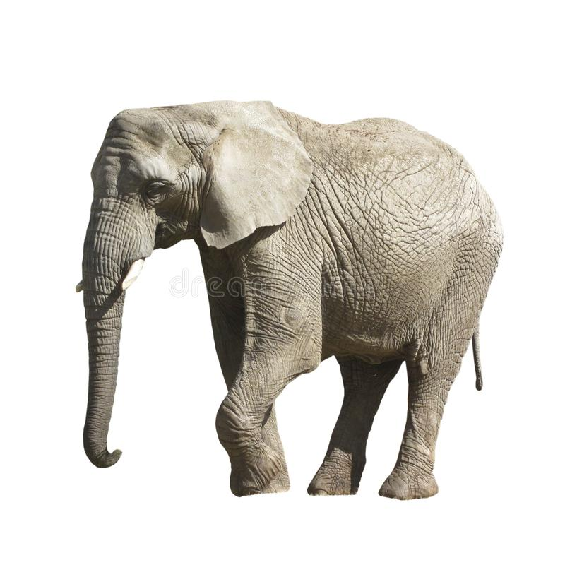 Grande elefante grigio isolato su fondo bianco fotografia stock