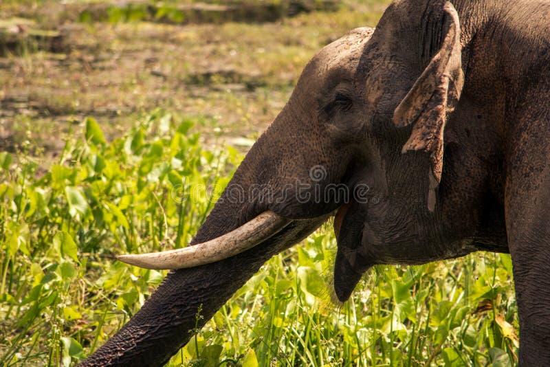 Grande elefante nel safari di Yala, Sri Lanka fotografia stock libera da diritti