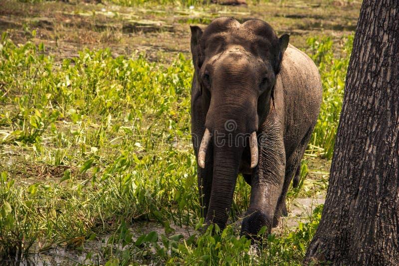 Grande elefante nel safari di Yala, Sri Lanka immagine stock