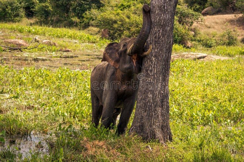 Grande elefante nel safari di Yala, Sri Lanka immagini stock libere da diritti