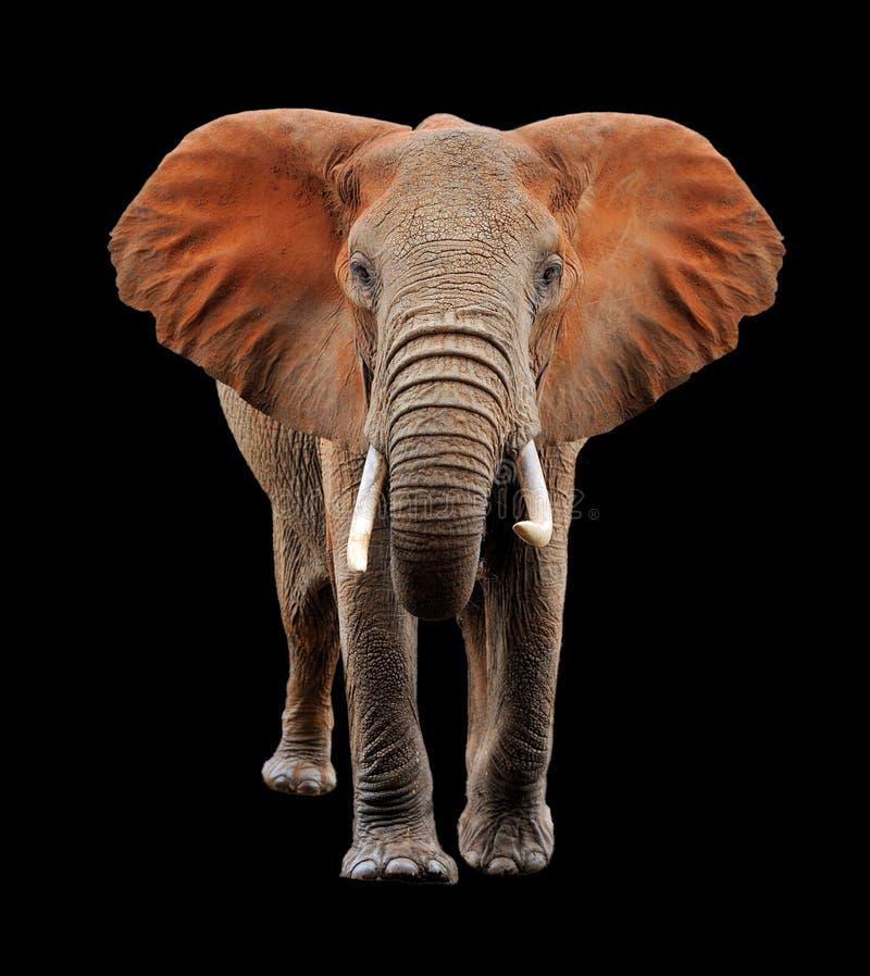 Grande elefante su fondo nero immagini stock