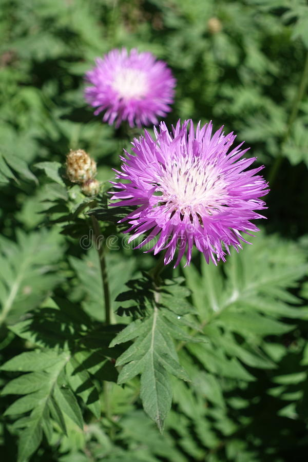 Grande empalideça - flores cor-de-rosa da centáurea persa imagem de stock