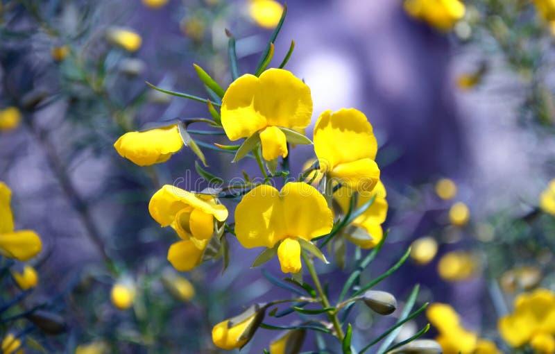 Grande ervilha nativa australiana da cunha fotografia de stock royalty free
