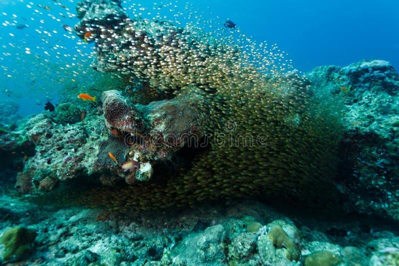 Grande escola de peixes de vidro de prata minúsculos no recife de corais fotografia de stock royalty free