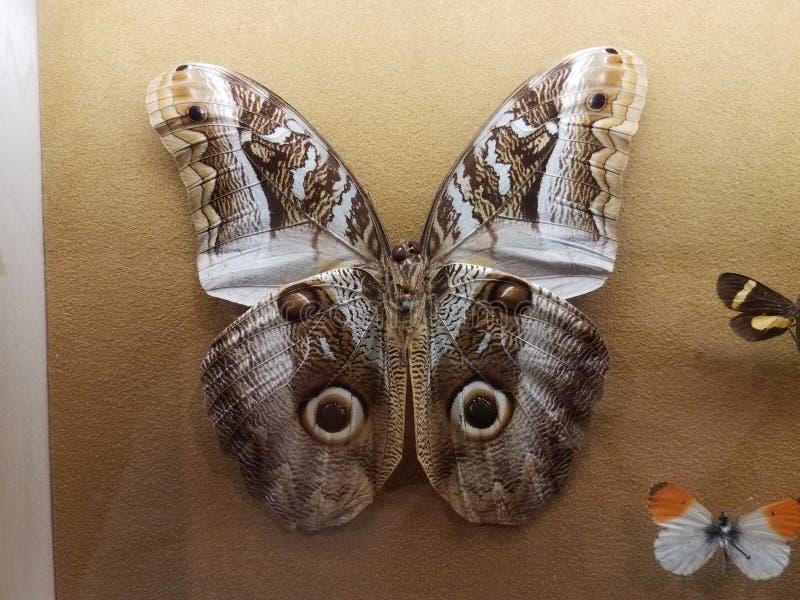 Grande esemplare appuntato del lepidottero con le ali con gli occhi immagine stock