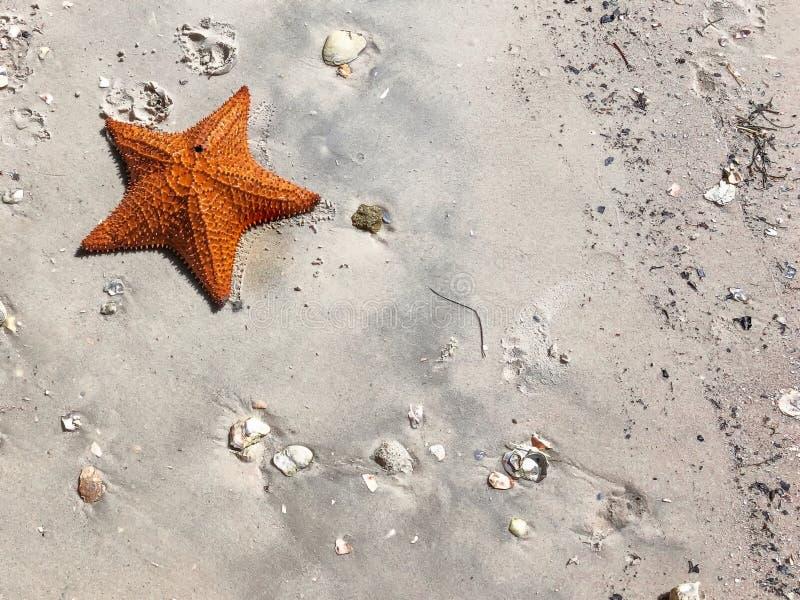 grande estrela de mar alaranjada na areia fotografia de stock royalty free
