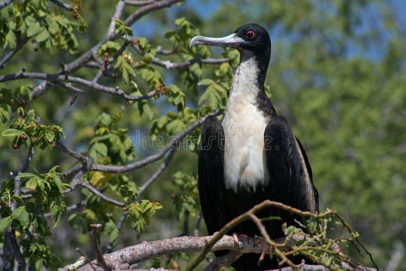 Grande fêmea do frigatebird, Galápagos imagens de stock