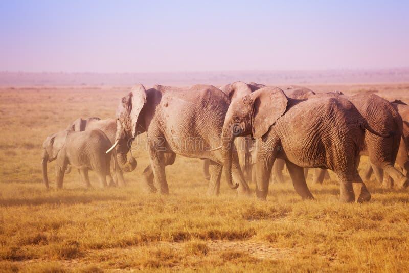 Grande famille des éléphants africains dans Maasai Mara image libre de droits
