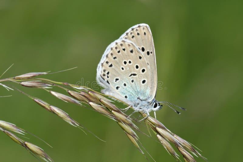 Grande farfalla blu immagine stock libera da diritti
